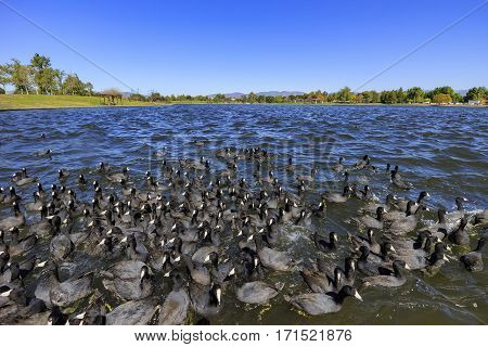 Big Group Of Black Coot