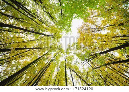 Beautiful yellow and green trees at autumn sunny forest, under view