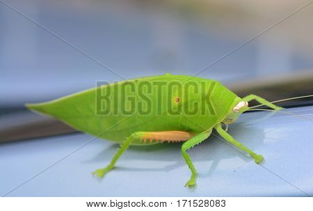 Pseudophyllus titans or giant leaf katydid (giant leaf bug) ** note select focus with shallow depth of field