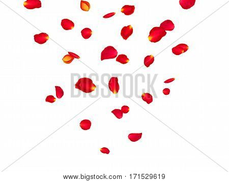 Red rose petals background. A lot of falling petals on white background. Vector spring template.