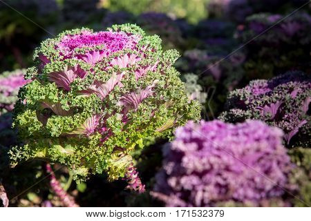 Cultivation ornamental Kale Red Coral in a garden.
