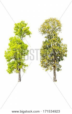 Two trees isolated on white background with clipping path.