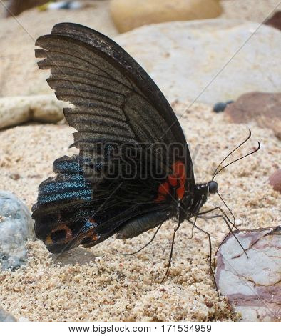 The Spangle butterfly (Inspect, Papilio protenor, Thailand)