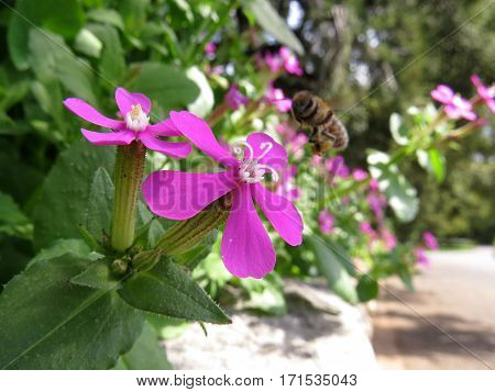 Close-up of small five petal pink flower shrub in garden with bee Silene Campion
