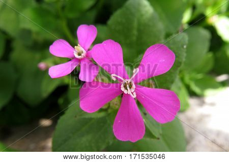 Close-up of small five petal pink flower shrub in garden Silene Campion