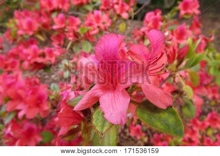 Azalea Rhododendron flower bush shrub in bloom in Spring garden park red pink