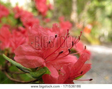 Azalea Rhododendron flower bush shrub in bloom in Spring garden park red