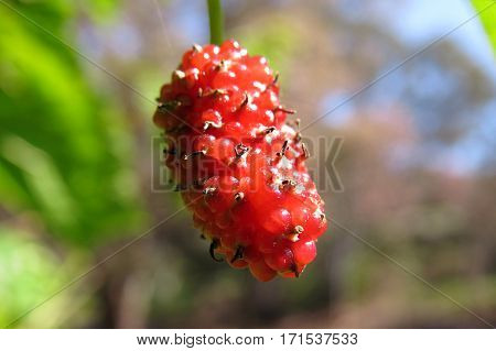 Close-up of a mulberry fruit berry ripening on a tree
