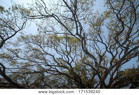 The silk tree with branch the biggest silk tree at Chiangrai Thailandat Chiangrai Thailand