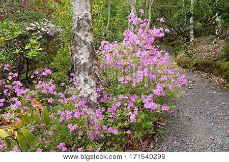 Azalea Rhododendron flower bush shrub in bloom in Spring garden park path