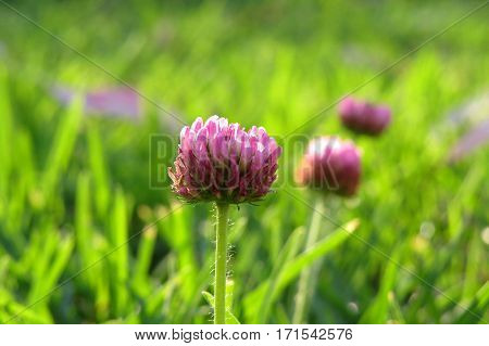 Pink clover flower weed growing in a grassy field