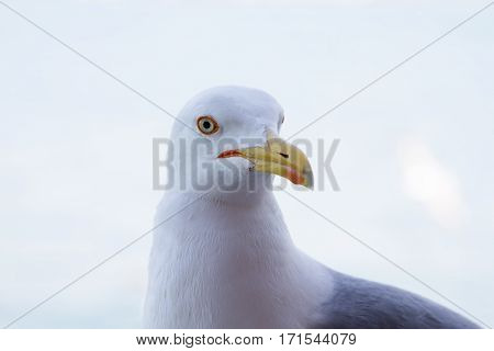 Portrait of a seagull. Seagull hs complete white head and beak closed.