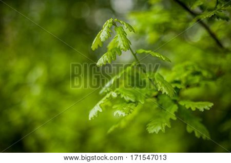 close-up of a fresh and young oak tree green leaves