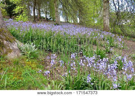 Bluebells in bluebell wood in Springtime garden blue bell flowers