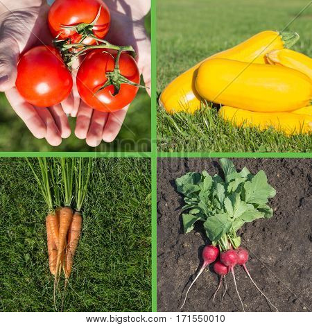 Collage of colorful summer raw harvest. Fresh tomato, zucchini, carrot and radish as square collage.