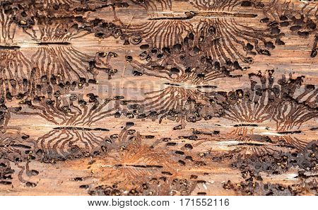 The European spruce bark beetle. Traces of a pest on a tree bark