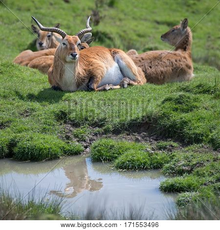 A group of lechwe antelopes with a dominant buck lying on the grass with a reflection in a small pool