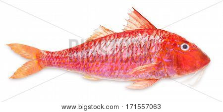 Fresh red mullet isolated on white background
