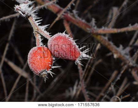 ice crystals on a frozen red rosehips
