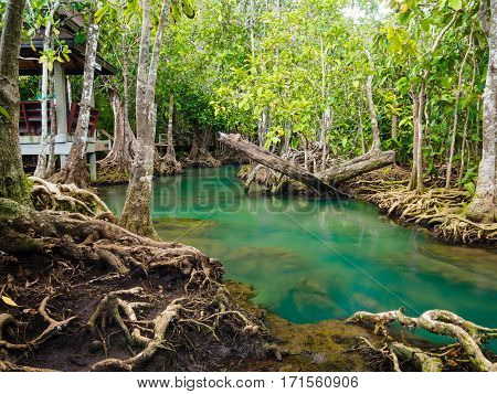 Green water lakes river waterfall with root tree at Tha Pom Klong Song Nam, Krabi, Thailand