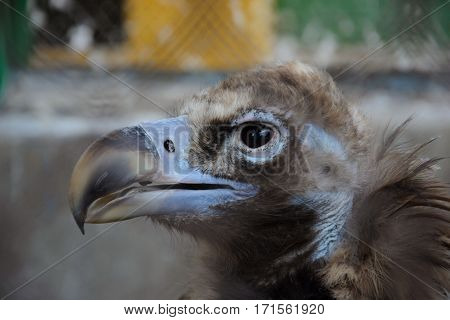 The Head Of Cinereous Vulture