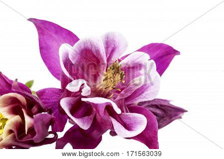 Purples pring flowers of Aquilegia vulgaris isolated on white background