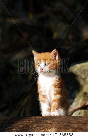 Little yellow kitten play outside, Yellow kitty with dark background