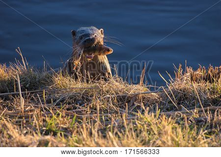 OTTER - Animal on the bank of hunted fish