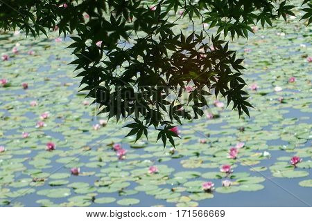 Leaves And Branches Of A Japanese Maple Beside The Pond.