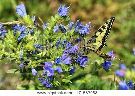 Swallowtail butterfly frontal view on the blue flower