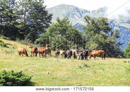 Wild Horses In Aran Valley In The Catalan Pyrenees, Spain.