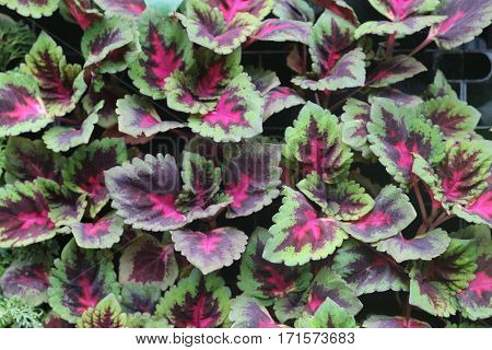 colorful Coleus plant arranged in the order