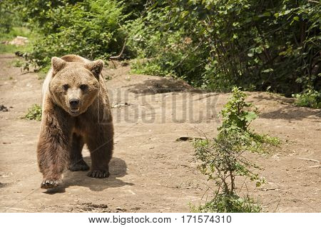 Brown bear approaching Transylvania, Romania wildlife carnivore
