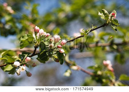 Apple tree blossom, closeup of beautiful branch with small white flower buds. Spring nature landscape at blue sky background