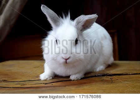 Rabbit - the common name genera of mammals in the family leporidae.