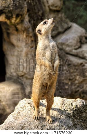 Suricate standing and guarding on the rock