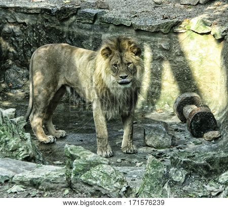 Big hairy lion in the concrete cavern with wooden toy