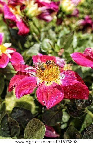 Two bees harvesting pollen on the yellow red and white blossom