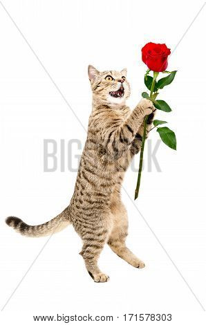 Cat Scottish Straight with a rose, standing on its hind legs, isolated on white background