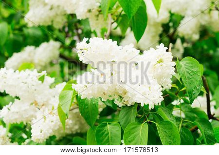 Lilac blooming tree with white blooming flowers and green leaves close up