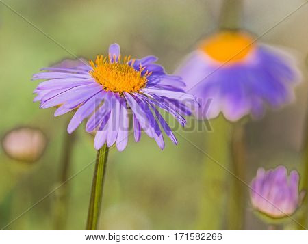 beautiful summer bright chamomile flower with violet petals and yellow center on green background