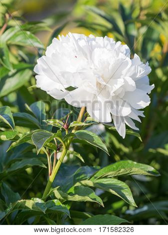 beautiful peony flower with white petals and a white center on a green background in summer garden vertical