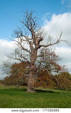 Craggy old oak tree in the countryside.