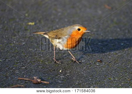 A Robin on a concrete pathway in a park