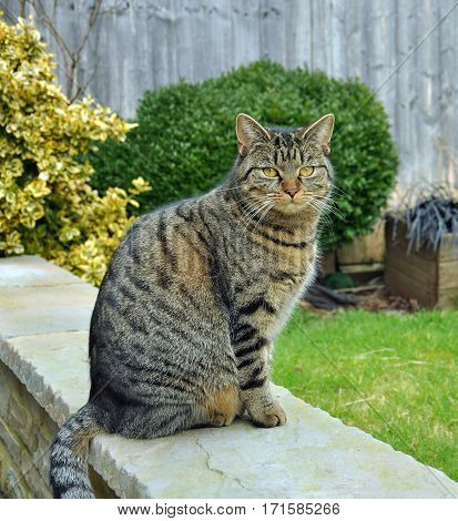 Tabby cat sat on a garden wall.