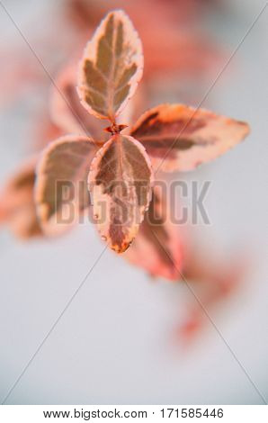 Leaves Of Plants Euonymus In Red Colour