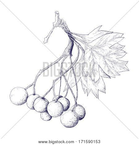 Hawthorn Berries - botanical illustration - healing herb