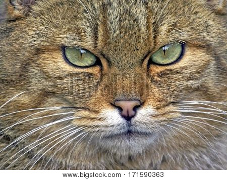 Close up head shot of European Wildcat portrait