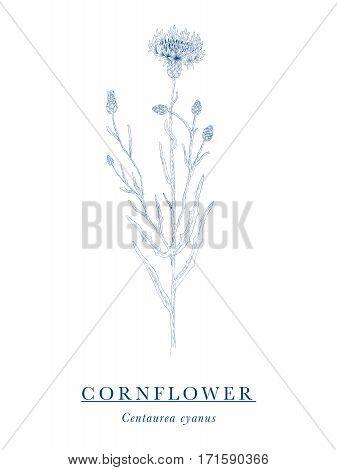 Cornflower - botanical illustration - field and meadow flower