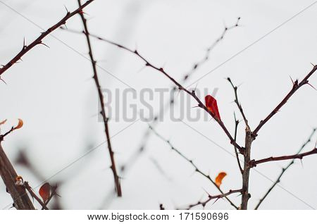 Barberry Bush At Winter